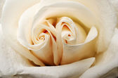 Beautiful tea rose petals close up — Stock Photo