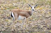Persian gazelle outdoor in autumn — Stock Photo