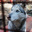 Stock Photo: Sad and tearful husky behind in cage