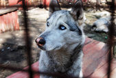 Sad and tearful husky behind in cage — Stock Photo