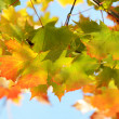 Autumn leaves against the clear sky — Stock Photo