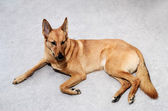 Mongrel dog lying on the floor — Stock Photo