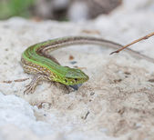Green lizard in the nature — Stock Photo