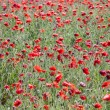 Poppy field with flowering red poppies — Stock Photo