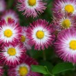 Stock Photo: Close up of marguerites
