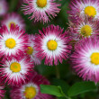 图库照片: Close up of marguerites