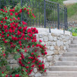 Stock Photo: White trellis supporting red rose vine.
