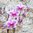 Beautiful Purple Orchid - Stock Photo