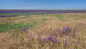 字段与紫色的花 — 图库照片