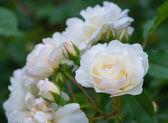 Some white yellow roses — Stock Photo