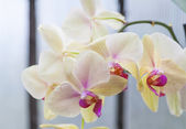 Pink and yellow orchid — Stock Photo