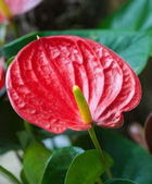 Close up of a red Arum. — Stock Photo