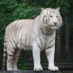 ������, ������: White Bengal Tiger