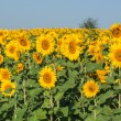 Stock Photo: Summer sunflower field over cloudy blue sky