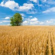 Alone tree in wheat field over cloudy blue sky — Stock Photo #26280487