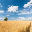 Alone tree in wheat field over cloudy blue sky — Stock Photo #26281797