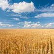 Alone tree in wheat field over cloudy blue sky — Stock Photo