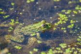 Marsh frog on the lake — Stock Photo