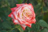 美しいピンクのバラの庭で撮影. — ストック写真