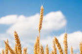 Gold ears of wheat under sky. soft focus on field — Stock Photo