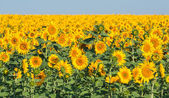 Summer sunflower field over cloudy blue sky — Stock Photo