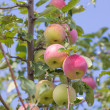 Apples on apple tree branch in garden — Stock Photo