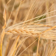 Foto Stock: Gold ears of wheat under sky