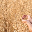 Stock Photo: Ripe golden wheat ears in her hand