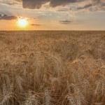 Wheat field at sunset — Stock Photo