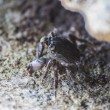 Hairy leg mountain crab — Stock Photo