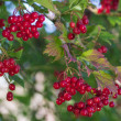 Red berries of the viburnum — Stock Photo