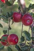 Red apples on apple tree — Stock Photo