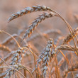 Gold ears of wheat under sky — Stock Photo #44835899