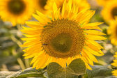 Sunflowers — Stock fotografie