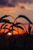 Grass Silhouette Against Sunset — Stock Photo
