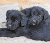 Standard schnauzer puppies — Stock Photo