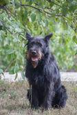 Cachorros de schnauzer estándar — Foto de Stock