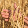 Ripe golden wheat ears in her hand — Stock Photo #49612805