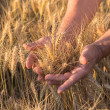 Ripe golden wheat ears in her hand — Stock Photo #49960261