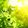 Green leaves with sun ray — Stock Photo #13557855
