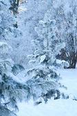 View of christmas trees through snow — Stock Photo