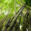 Picture of tropical bamboo forest — Stock Photo