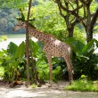 Picture of Giraffe in Singapore Zoo — Stock Photo #36459291
