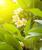 Branch of tropical flowers frangipani (plumeria)  — Stock fotografie