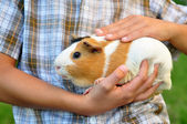 Taking care of a guinea pig — Stock Photo