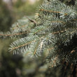 Fir tree — Foto de stock #12754124