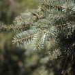Fir tree — Foto de stock #12803931