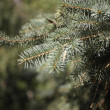 Foto Stock: Fir tree