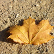 Maple leaf on earth — Stock Photo