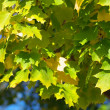 Yellow maple leafs on tree — Stock Photo